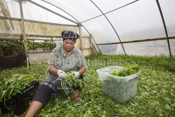 Rosharon, Texas USA Cambodian immigrant harvesting water spinach in a greenhouse. She is part of a community of Cambodian refugees who settled in south Texas in the early 1980s after fleeing the Khmer Rouge. The community is struggling after Hurricane Harvey flooded their community, damaging or destroying many homes. - Jim West - 2017-11-03