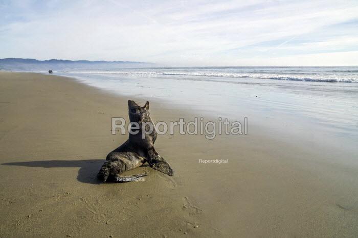 Point Reyes National Seashore Park California USA A Harbor seal pup abandoned on the beach - David Bacon - 2018-01-01