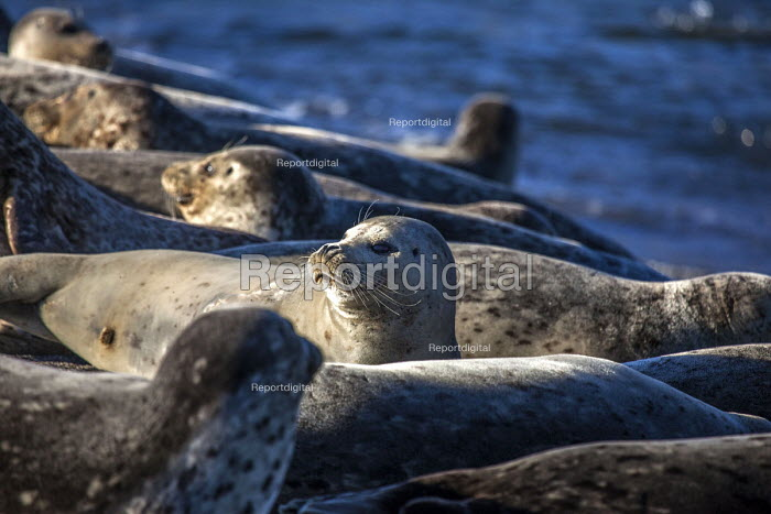 Jenner, California, USA, Harbor seals, on the beach, Russian River Estuary - David Bacon - 2018-02-05