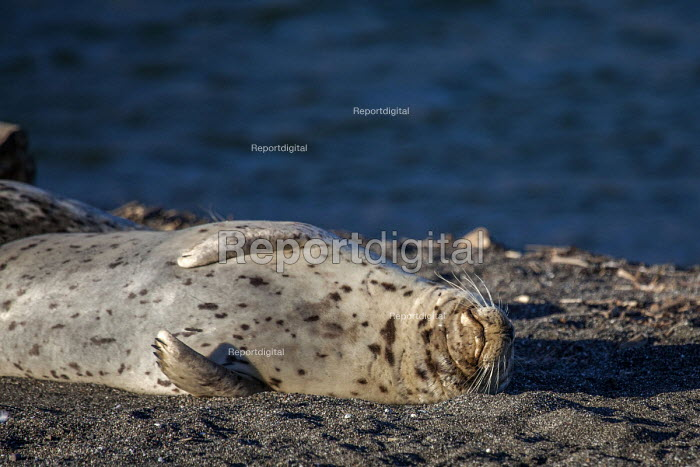 Jenner, California, USA, Harbor seals, on the beach, Russian River Estuary - David Bacon - 2018-02-05