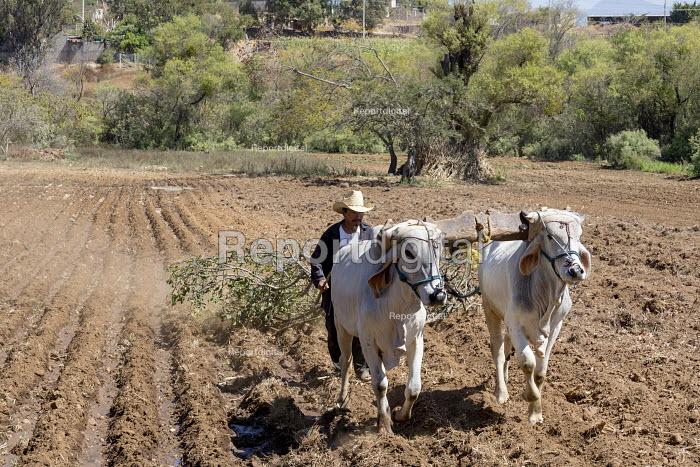 Carrizal, Oaxaca, Mexico A farmer driving cattle pulling a large tree branch through a field, West Etla Valley - Jim West - 2018-02-23