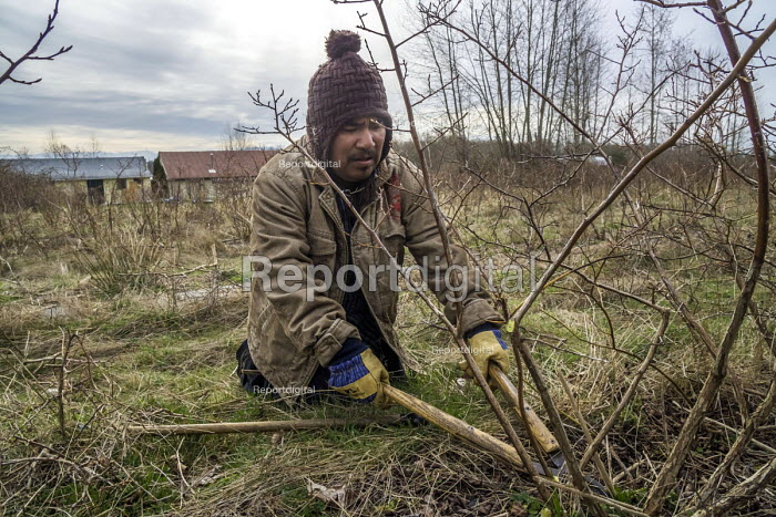 Lynden, USA Modesto Hernandez of Familias Unidas por la Justicia pruning blueberry bushes at a new cooperative. Hernandezs feet were amputated after suffering frostbite in a freezing field and he cannot work standing up - David Bacon - 2018-04-03