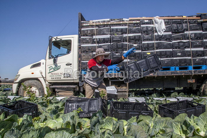 Oxnard, California, USA: Mexican farm workers harvesting cabbages - David Bacon - 2018-04-18