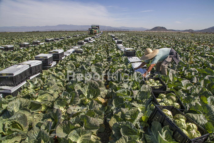 Oxnard, California, USA: Mexican farm workers harvesting cabbages. A worker putting plastic over the boxes of cut cabbage - David Bacon - 2018-04-18