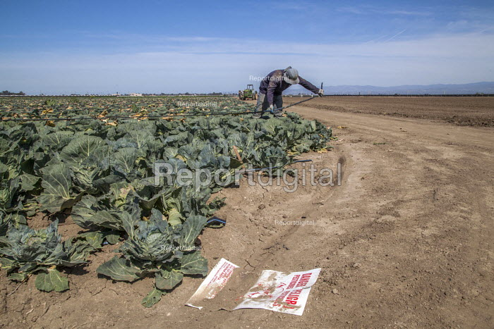 Oxnard, California, USA: Mexican farm workers harvesting cabbages. A worker removing plastic irrigation tubes. A sign in the dirt warning of the danger of sprayed pesticides - David Bacon - 2018-04-18