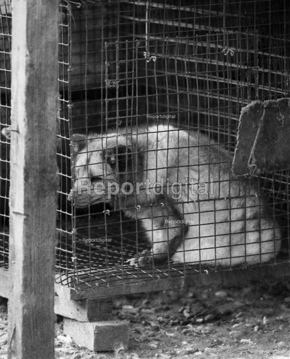 Silver Fox in a cage, Animal Rights activists raiding Silver Fox breeder, Cocksparrow Farm, Lea Marston, Warwickshire 1983. East Midlands Animal Liberation Front broke into a controversial farm that breeds silver foxes for their furs. The group took pictures of their raid and set four foxes free - John Harris - 1983-10-29