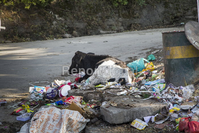 Plastic pollution, India, cow and rubbish on road from Shimla. India is one of the main sources of plastic pollution - Martin Mayer - 2018-11-05