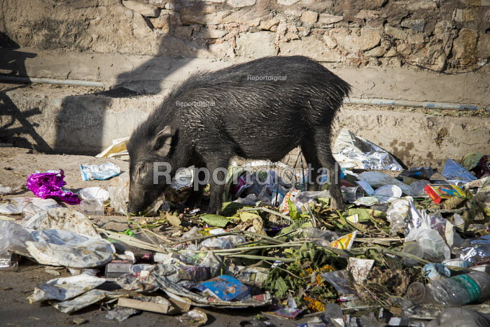 India, Jaipur, pollution: Indian boar routing through... - Martin Mayer, MM1901216.jpg