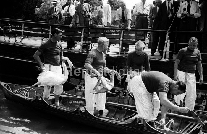 Royal Swan Upping 1959. Dating back to the 12th Century an annual census of the swan population by the Queen's swan uppers on a particular stretch of the River Thames to check the health of and count the number of swans and young cygnets and ensure that the swan population is maintained - Alan Vines - 1959-07-20