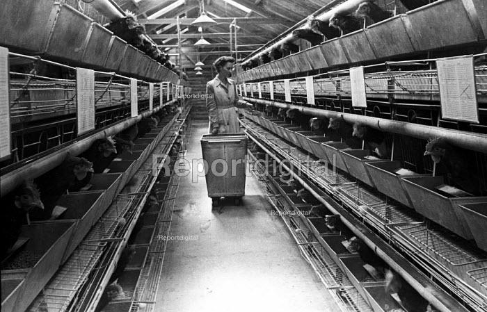 Worker feeding battery farmed chickens, Yorkshire, 1948 - Felix H. Man - 1948-03-03
