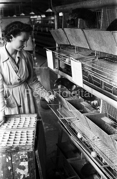 Worker collecting eggs from battery farmed chickens... - Felix H. Man, RAFM4804.jpg