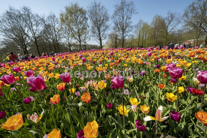 """Tulip gardens, Keukenhof, Lisse, South Holland, Netherlands. The garden was established in 1949 by the mayor of Lisse to present a flower exhibit where growers from all over the Netherlands and Europe could show off their hybrids ��"""" and help the Dutch export industry. The Netherlands is the world's largest exporter of flowers - Jess Hurd - 2019-04-08"""