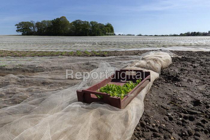 Lettuce growing under a plastic mulch, Warwickshire - John Harris - 2019-04-12