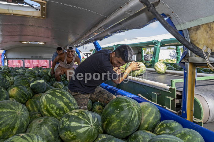 Immokalee, Florida, USA: Migrant workers unloading watermelons onto conveyer belts, Pequeno Harvesting packing shed. The melons are transported from the fields in old buses from which seats and windows have been removed - Jim West - 2019-05-08