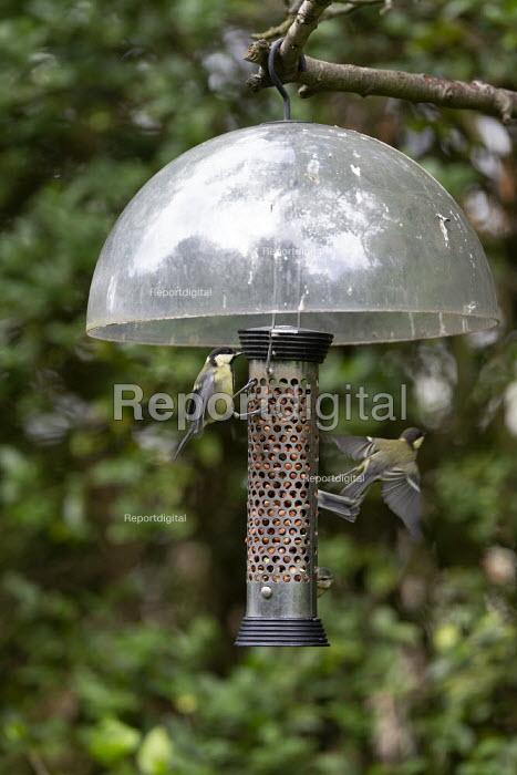 Immature Great Tits on a birdfeeder - John Harris - 2019-06-09