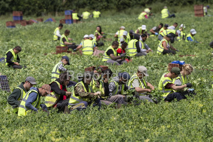 Romanian and Bulgarian migrant workers harvesting broad beans, Warwickshire - John Harris - 2019-06-21