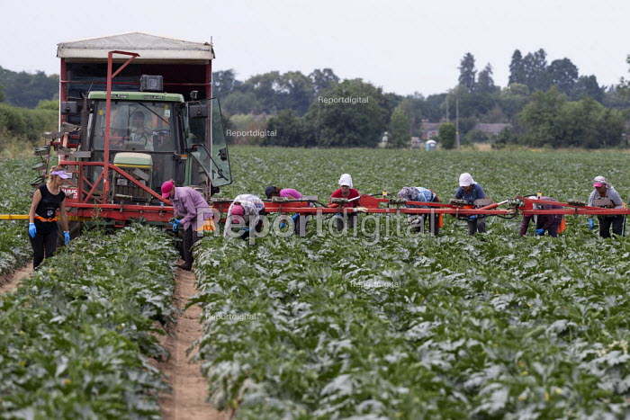 Gangmaster and migrant workers harvesting courgettes, Warwickshire - John Harris - 2019-07-16