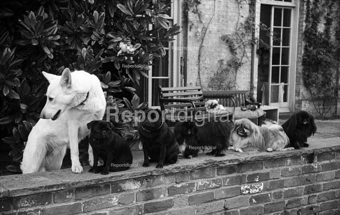 Diffrerent breeds of dogs sitting on garden wall of country house Aldeburgh 1955 - Kurt Hutton - 1955-05-05