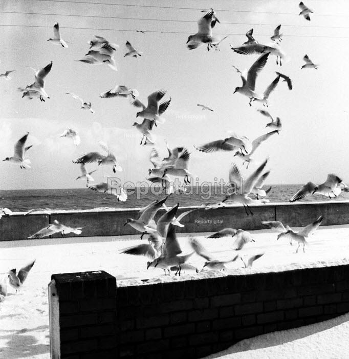 Seagulls on the seafront Aldeburgh Suffolk 1958 - Kurt Hutton - 1958-08-27