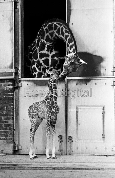 Baby giraffe called Steve, London Zoo 1985 - NLA - 1985-01-31