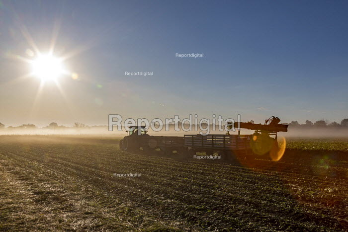 Michigan, USA: Farmer harvesting celery early in the morning - Jim West - 2019-09-24