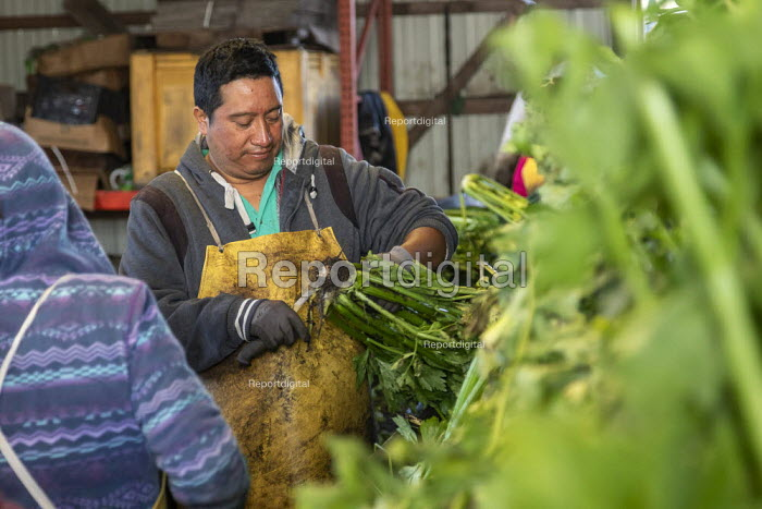 Michigan, USA: Workers packing the celery harvest on a farm - Jim West - 2019-09-24