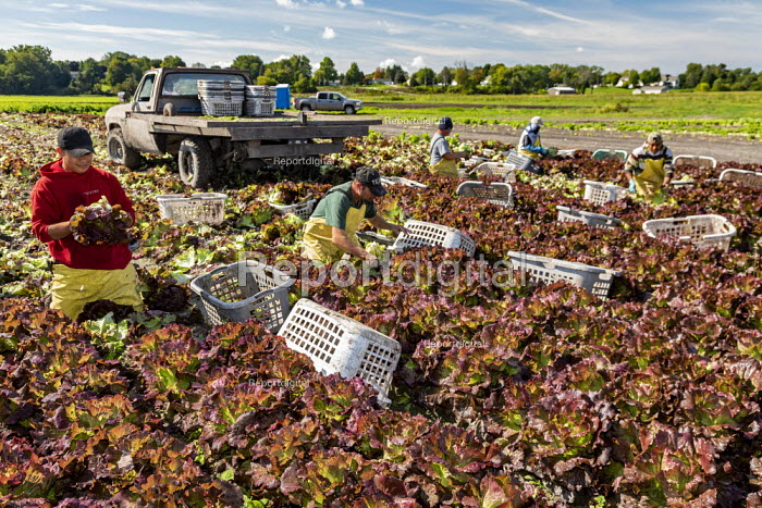Michigan, USA: Workers harvesting red leaf lettuce from a field - Jim West - 2019-09-24