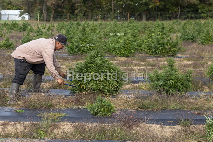 Michigan, USA: Workers harvesting hemp at the Paw Paw Hemp Company. Many American farmers harvested their first crop in 2019 after growing hemp was legalized by the 2018 federal farm bill. - Jim West - 2019-10-10