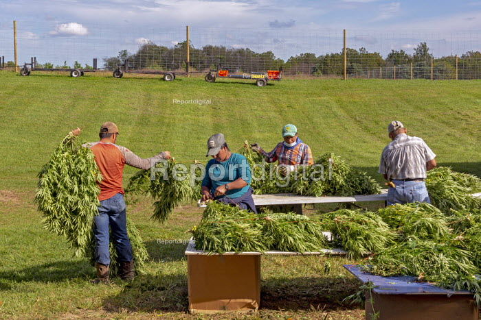Michigan, USA: Workers harvesting hemp at the Paw Paw Hemp Company. Workers stringing the plants on cords and take them to the barn to dry. Many American farmers harvested their first crop in 2019 after growing hemp was legalized by the 2018 federal farm bill. - Jim West - 2019-10-10