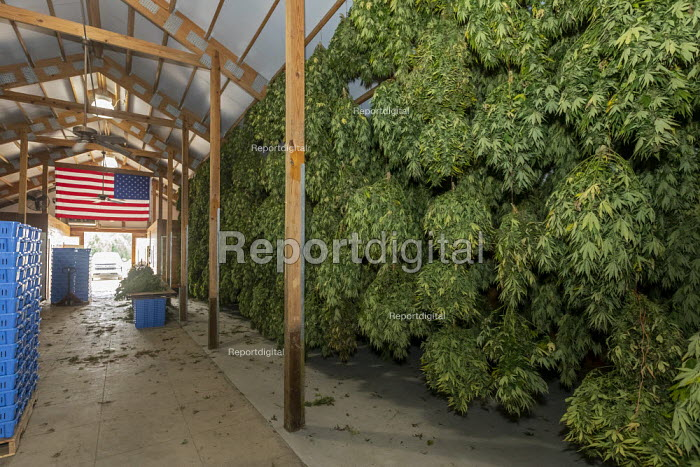 Michigan, USA: Hemp plants hanging to dry in a barn, Paw Paw Hemp Company. Many American farmers harvested their first crop in 2019 after growing hemp was legalized by the 2018 federal farm bill - Jim West - 2019-10-10
