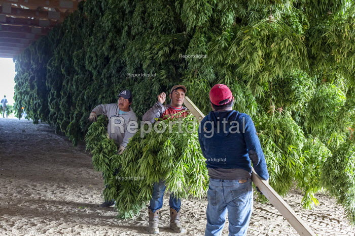 Michigan, USA: Workers harvesting hemp at the Paw Paw Hemp Company. Workers hanging the plants in a barn to dry. Many American farmers harvested their first crop in 2019 after growing hemp was legalized by the 2018 federal farm bill. - Jim West - 2019-10-10