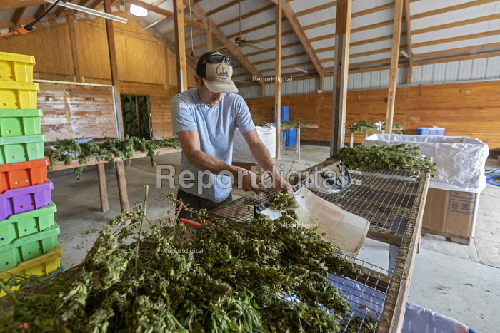 Michigan, USA: Workers harvesting hemp at the Paw Paw Hemp Company, worker stripping the flower heads and leaves from the hemp stalks. Many American farmers harvested their first crop in 2019 after growing hemp was legalized by the 2018 federal farm bill. - Jim West - 2019-10-10