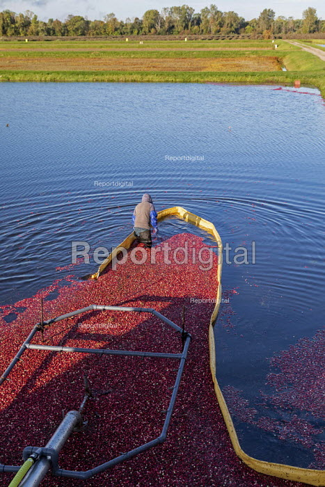 Michigan, USA: Workers harvesting cranberries, DeGRandchamp Farms. The cranberry bog is flooded allowing the floating fruit to be collected. - Jim West - 2019-10-10