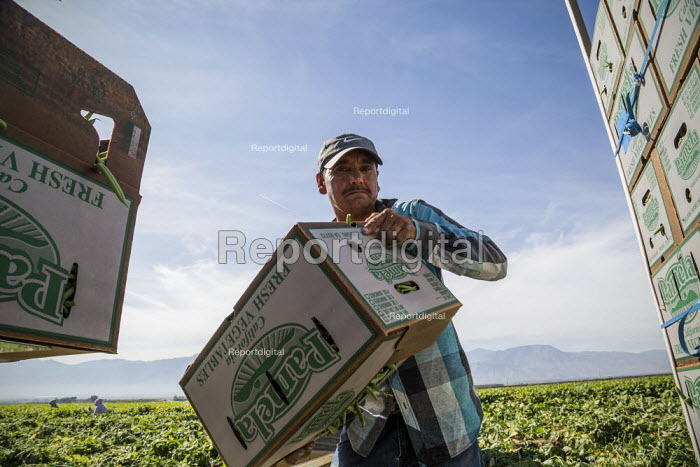 Coachella Valley, California, USA: Farmworkers picking green beans. Loading boxes of beans onto a truck in the field - David Bacon - 2019-11-13