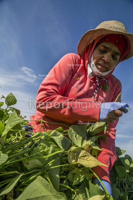 Coachella Valley, California, USA: Farmworkers picking green beans - David Bacon - 2019-11-13