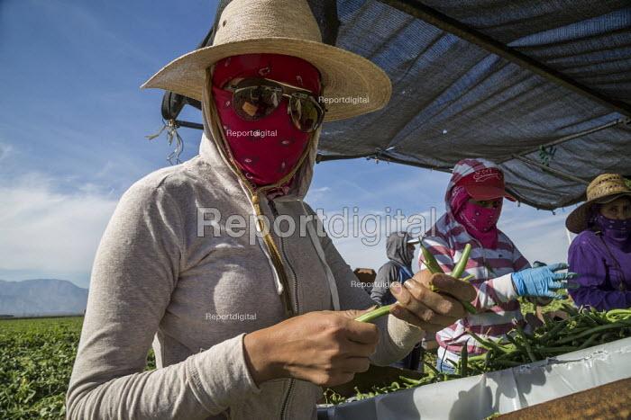 Coachella Valley, California, USA: Farmworkers picking green beans, sorting - David Bacon - 2019-11-13
