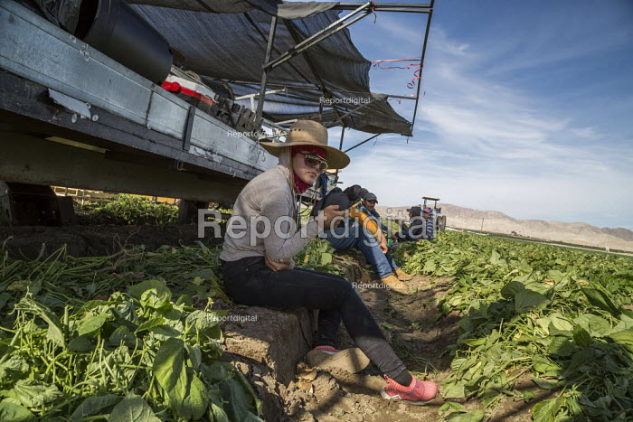 Coachella Valley, California, USA: Farmworkers picking green beans. Checker weighing picked beans. Workers taking a break next to the harvester - David Bacon - 2019-11-13