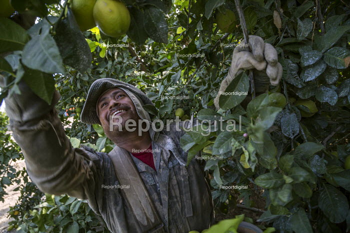 California, USA: Farmworkers picking lemons, Coachella Valley. Workers in this crew are Purepecha immigrants from Ocomichu, Michoacan - David Bacon - 2019-11-13