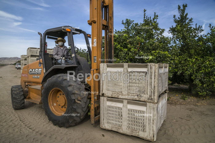 California, USA: Farmworkers picking lemons, Coachella Valley. Workers in this crew are Purepecha immigrants from Ocomichu, Michoacan. Workers moving bins with a forklift - David Bacon - 2019-11-13
