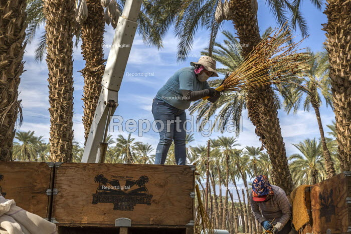 California, USA, Crew of farmworkers picking deglet dates, Coachella Valley. Two pickers work in bucket hoists, two bang the fronds against the bins to strip the dates from the branches - David Bacon - 2019-11-14