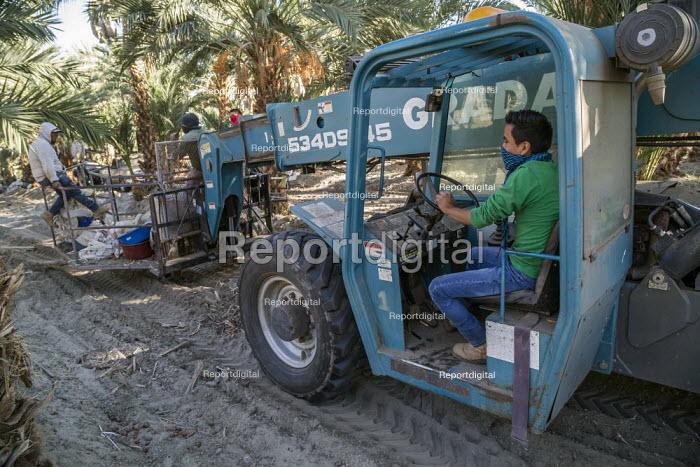 California, USA, Crew of farmworkers picking deglet dates, Coachella Valley - David Bacon - 2019-11-14