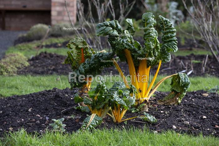 Swiss Chard, Hill Close Gardens, Warwick - restored Victorian hedged gardens - John Harris - 2020-02-02