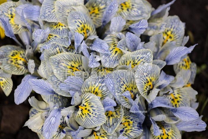 Irises, Hill Close Gardens, Warwick - restored Victorian hedged gardens - John Harris - 2020-02-02