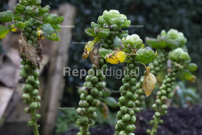 Brussels sprouts, Hill Close Gardens, Warwick - restored Victorian hedged gardens - John Harris - 2020-02-02