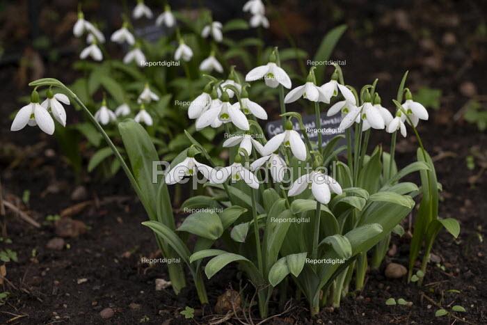 Snowdrops, Hill Close Gardens, Warwick - restored Victorian hedged gardens - John Harris - 2020-02-02