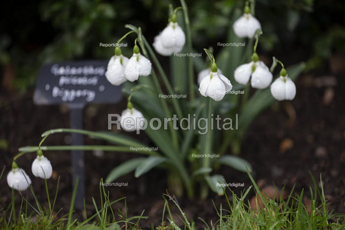Snowdrops, Hill Close Gardens, Warwick - restored Victorian hedged gardens - John Harris - 2020-02-02