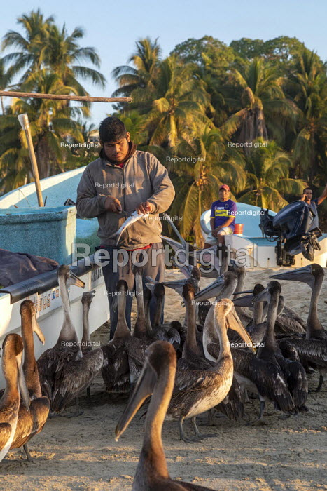 Puerto Escondido beach, Oaxaca, Mexico, customers arriving at dawn to buy fresly caught fish from the crews of small fishing boats. A fisherman feeding the pelicans. - Jim West - 2020-02-04