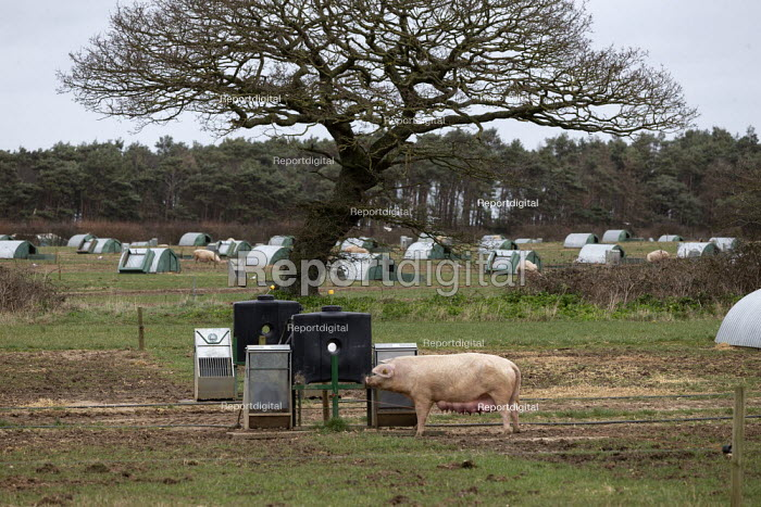 Pig farming, North Farm Livestock, Bayfield, Norfolk - John Harris - 2020-02-17