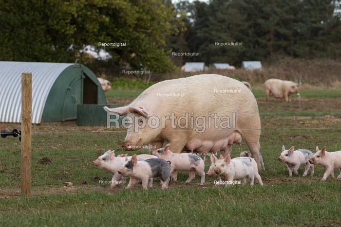 Pig farming, North Farm Livestock, Bayfield, Norfolk - John Harris - 2020-02-17