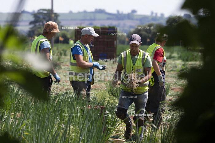 Migrant workers picking spring onions, Warwickshire - John Harris - 2020-06-25